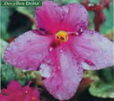 Фиалка «Decelles Delta»