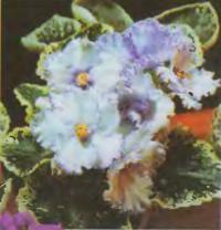 Фиалка «Lavender Swirls»