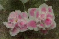 Фиалка «Розовая Пантера»