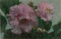 Фиалка «Розовое Солнышко»