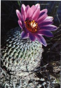 Форма rubriflorus - старое растение возле Др. Арройо (Dr. Arroyo), Нуэво-Леон