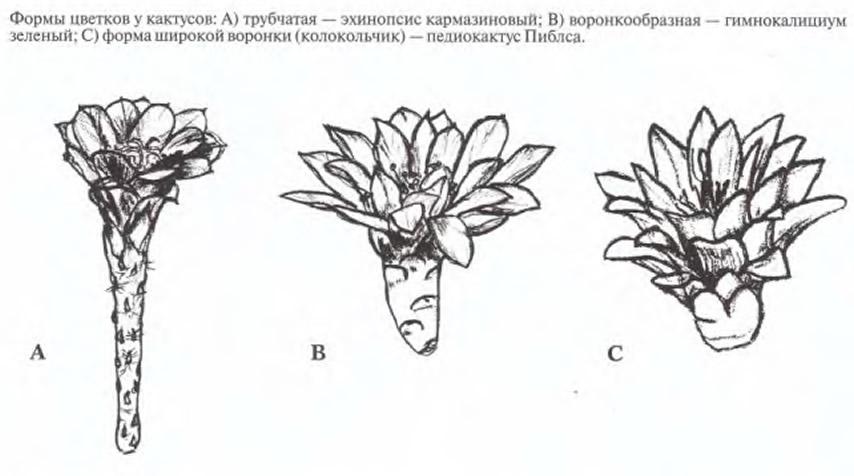 Формы цветков у кактусов