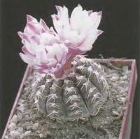 Гимнокалициум Рагонезе ф. розовоцветковый