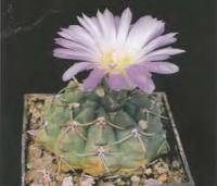 Гимнокалициум уругвайский разн. розовоцветковый