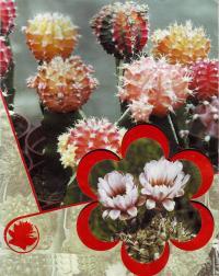 Гимнокалициум в цветах