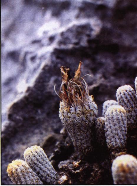 Группа растений на месте прозрастания возле Иксмикильпан (Ixmiquilpane), штат Идальго