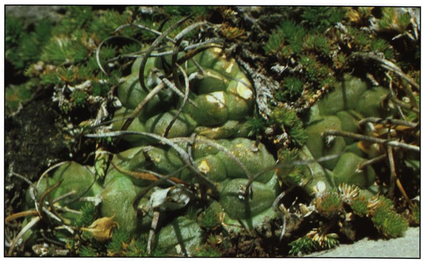 Группа растений с временным названием forma rubriflorus возле Серрос-Бланкос (Cerros Blancos)