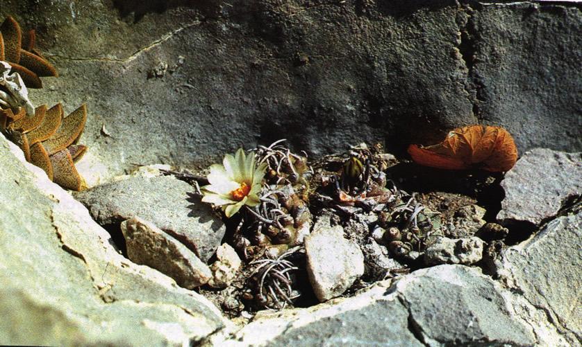 Группа растений возле Уисаче (Huizache), штат Сан-Луис-Потоси