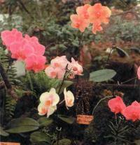 Группа разноцветных фаленопсисов вряд ли оставит кого-нибудь равнодушным