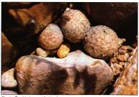 Группа T. vardezianus возле Сальтильо (Saltillo), штат Коауила