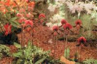 Группа vinicolors — гибридных башмачков