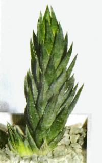 Хавортия сизая отличается высоким ростом