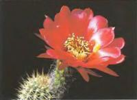 Хелиантоцереус крупноцветковый