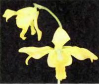 Ipsea speciosa — редкая орхидея из Шри-Ланки