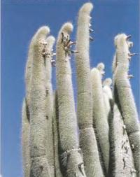 Клейстокактус жужуенский