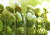 Коллекция гребенчатых (кристатных) форм кактусов на прививках
