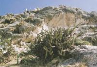 Корриокактус айакучонский