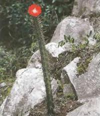 Корриокактус верхушечноцветковый