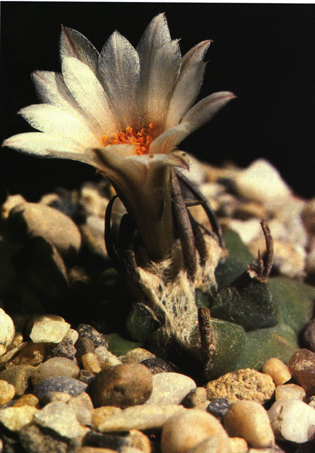 Культурное растение из семян из Чарко-Бланко (Charco Blanco), штат Сан-Луис-Потоси