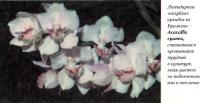 Легендарная «голубая» орхидея из Бразилии - Acacallis суапеа