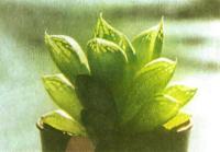 «Листовые окна» просвечивают на листьях хавортии ладьевидной