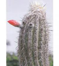 Локсантоцереус шерстисто-волосистый