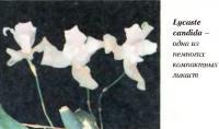 Lycaste Candida - одно из немногих компактных пикает