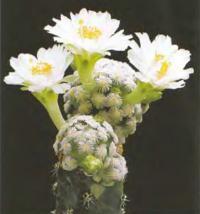 Мамиллярия Терезы ф. белоцветковая