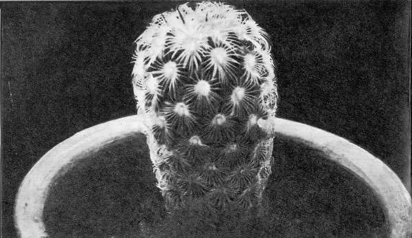 Маммиллярия солнышковая