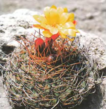 Матукана залотистоцветковая