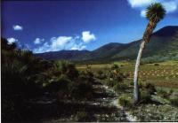 Место, где растут T. pseudopectinatus возле Альтамира (Altamire), штат Тамаулипас