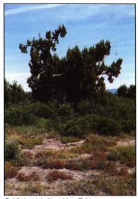 Место произрастания возле Лас-Таблас (Las Talac)