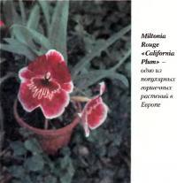 Miltonia Rouge «California Plum» - одно из популярных горшечных растений в Европе