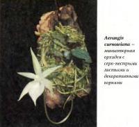 Миниатюрная орхидея Aerangis cumowiana