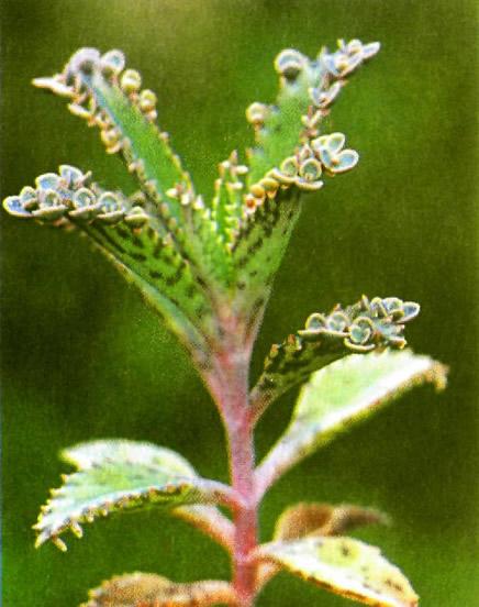 Молодые растения густо усеяли лист бриофиллюма