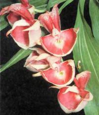 Мужские цветки Catasetum pileatum способны «выстреливать» пыльцу