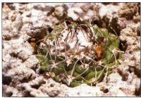 Наиболее густо околюченное растение у Лас-Таблас (Las Tablas)