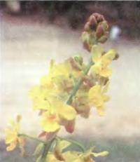 Наземная орхидея Cyrtopodium andersoni