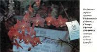 Необычная окраска цветков Phalaenopsis (Mambo х Champs Elysees) ВМ/IOEOC