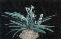 Neofinetia falcata -  вид-основатель миниатюрных гибридов