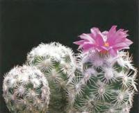 Неоллойдия крупноцветковая