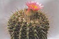 Нотокактус розово-желтый