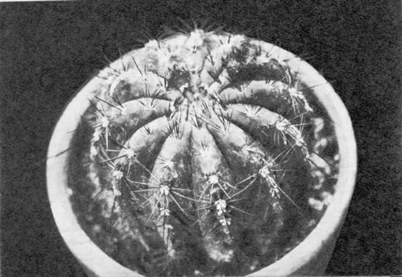 Нотокактус солнечный