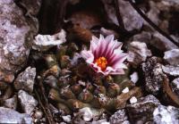 Новинка с предварительным названием T. klinkerianus var. rubriflorus