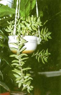 Очиток Нусбаумера — один из самых устойчивых в комнатной культуре