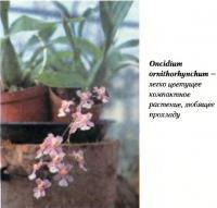 Oncidium omithorhynchum —  легко цветущее компактное растение, любящее прохладу