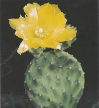 Опунция некрасивая разн. желтоцветковая