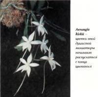 Орхидея Aerangis kirkii