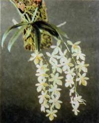 Орхидея Aerangis luteo-alba var. rhodosticta