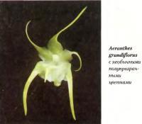 Орхидея Aeranthes grandiflorus